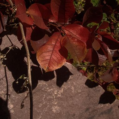 Leaves Above a Stone