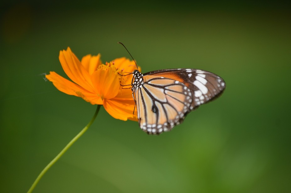 A lonely Butterfly