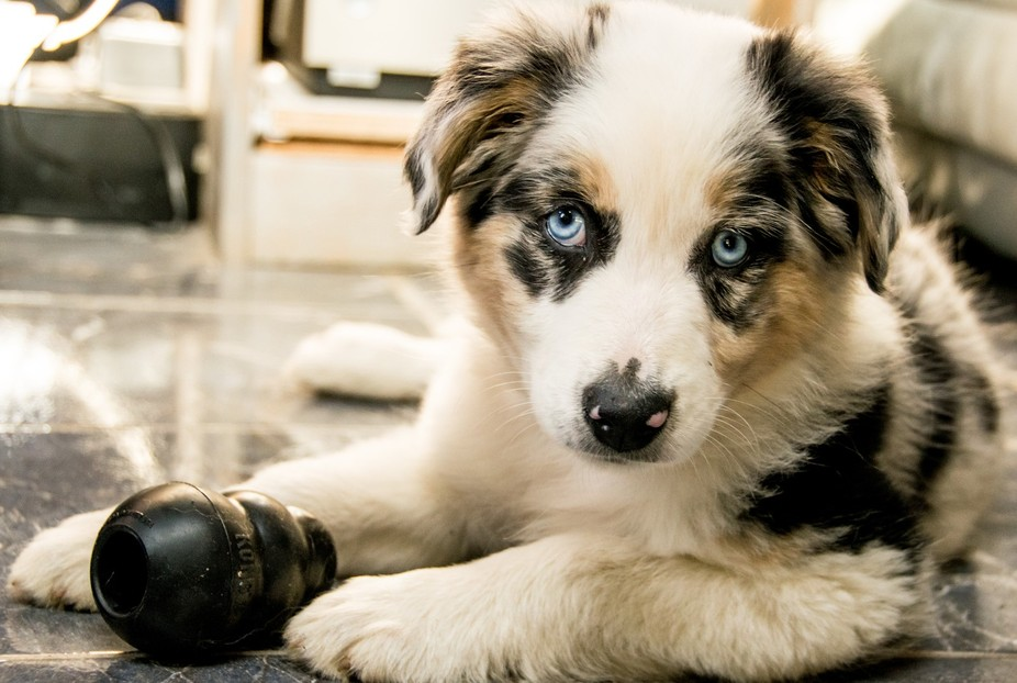 There's nothing cuter (or more destructive) than a baby girl Aussie Shepherd. Not recomm...