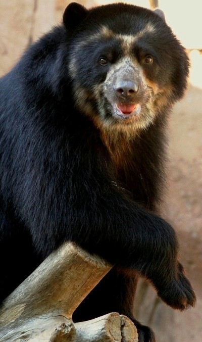 Andean-Spectacled Bear - Striking a pose