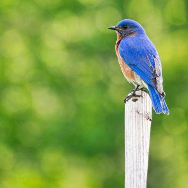 Bluebird with bokeh