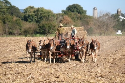 Baling Corn Fodder