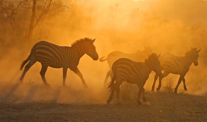 Dusky Zebra by jozi1 - Explore Africa Photo Contest