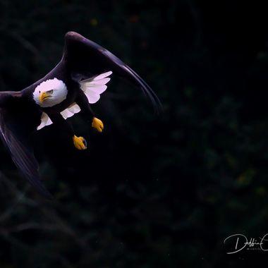 Eagle Evening