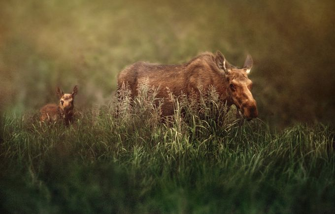 Beautiful Moose with baby right beads her. by lisablevins - Small Wildlife Photo Contest