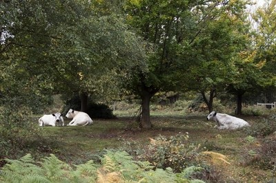 Relaxed Cows