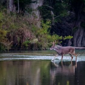 8pt Whitetail buck crossing the Guadalupe River in Texas