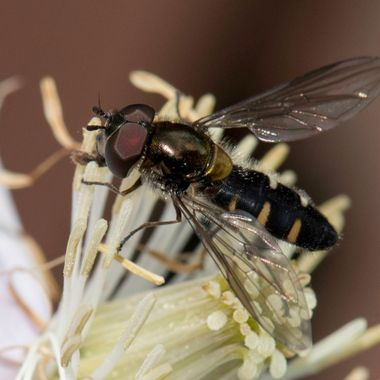 Large Hover Fly