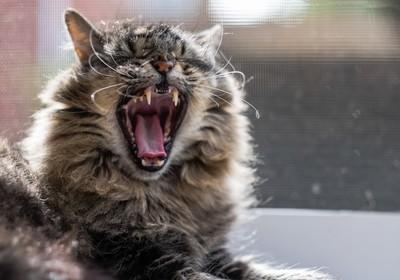Simba's Mighty Yawn