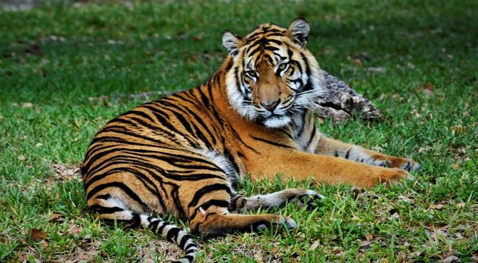 This is one of the two tigers at Zoo Miami, though I heard they would take him out, they are afraid the mother might try to kill him, even though he is much older now.