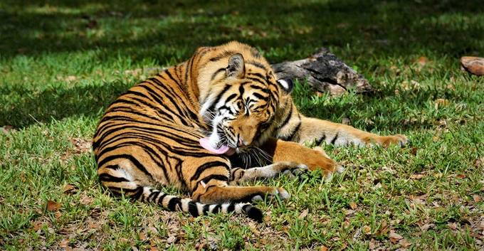 This is at Zoo Miami, the grown up Tiger is cleaning up hoping his mother will not get angry at him.