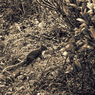 A squirrel seeking nuts in the woodland at Portrmeirion following a storm.