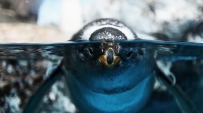 Penguin Stare