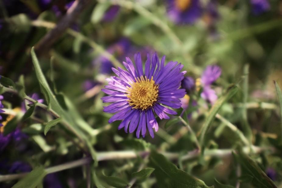 Purples of September