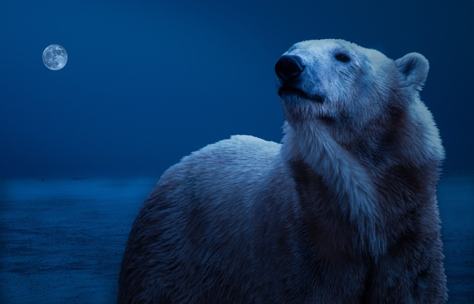 It was the dead of winter and somewhere out on the Arctic ice shelf a large male polar bear was s...