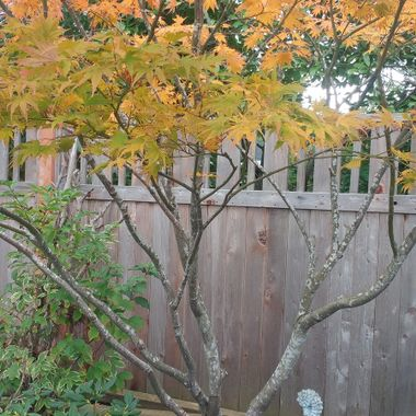 Little Yellow & Orange Maple Tree - 16 oct 2017