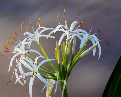 Crinum Asiaticum - Spider Lily