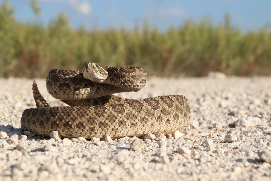 A Prairie Rattlesnake (Crotalus viridis viridis) preparing to have a go at the camera.