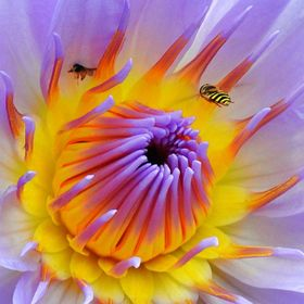 Bee flying on a Waterlily