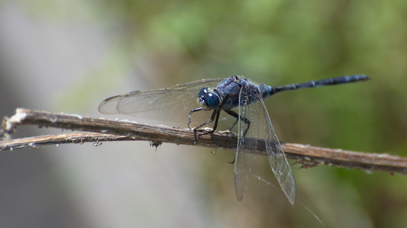 A blue-grey dragonfly on a branch, wings lowered