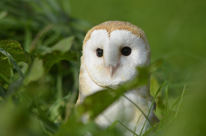 Stunning Young Barn Owl by PicturePerfect5 - Image Of The Month Photo Contest Vol 27