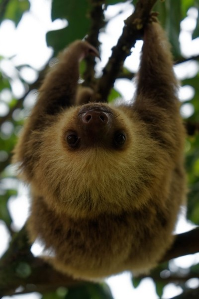 Two-toed sloth (Choloepus didactylus) hanging on a branch