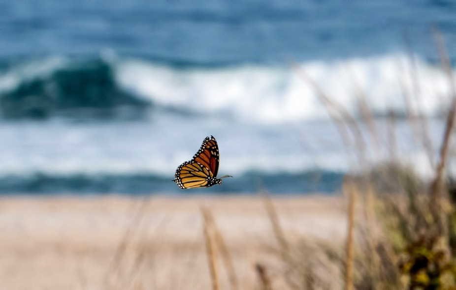 capturing flying monarchs at the beach