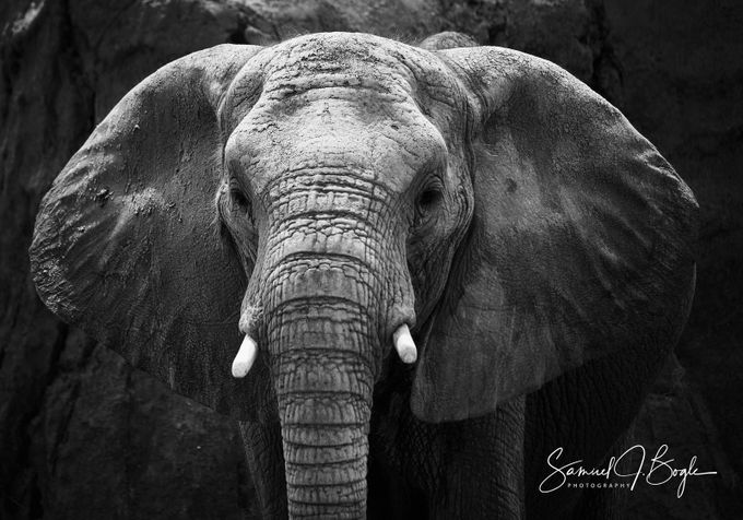 Elephant Stare Down by SamuelJBogle - Big Mammals Photo Contest