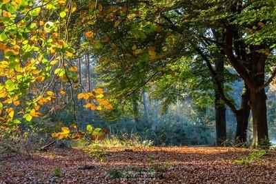 Beech Trees Fall Foliage