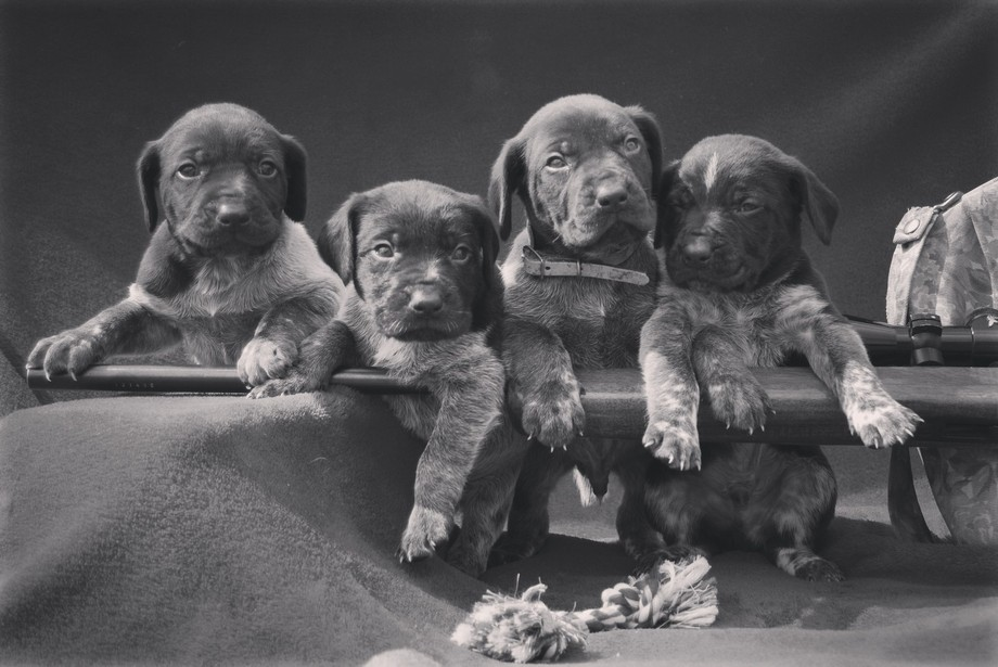 German short hair puppys at 3 weeks old