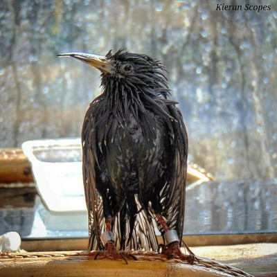 Bathing Starling