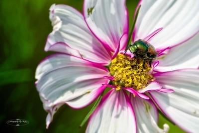 Dogbane Beetle Eating Flower