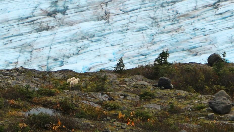 Mountain Goats enjoy the view of the glacier