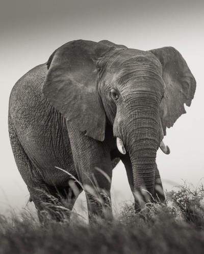 The Bull Elephant