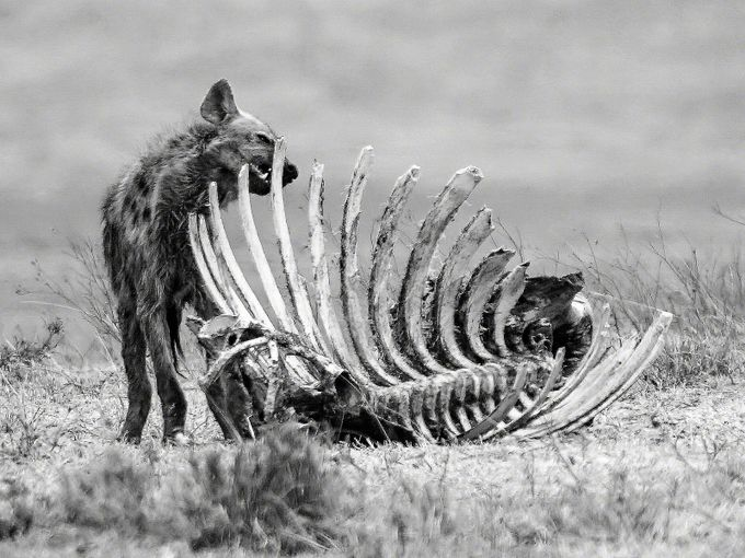 Hyena Cleans the Bones by Payson418 - Food Chain Struggles Photo Contest