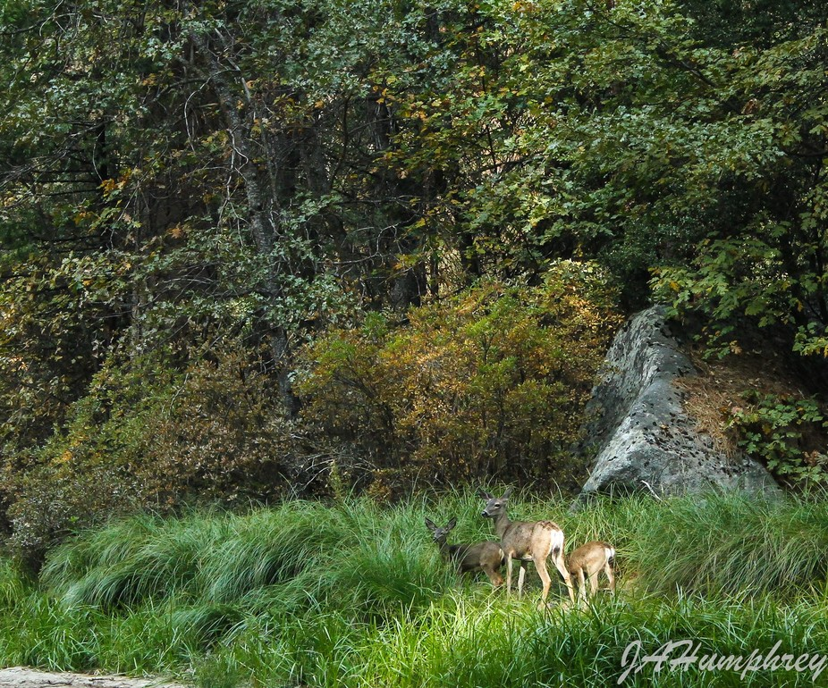 Deer near the river. A doe and twin fawns.