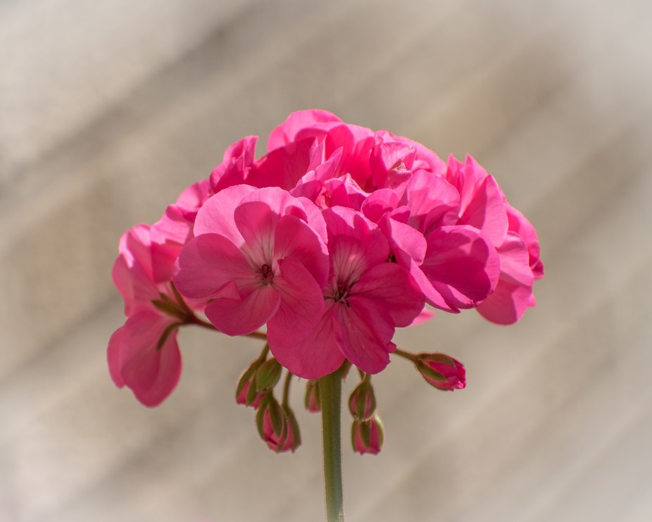 A geranium flowers in a private garden in West Bend, Wisconsin