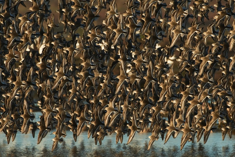 Sandpipers and Dunlins swoop and twist in unison over the waters of the restored McDaniel Slough ...