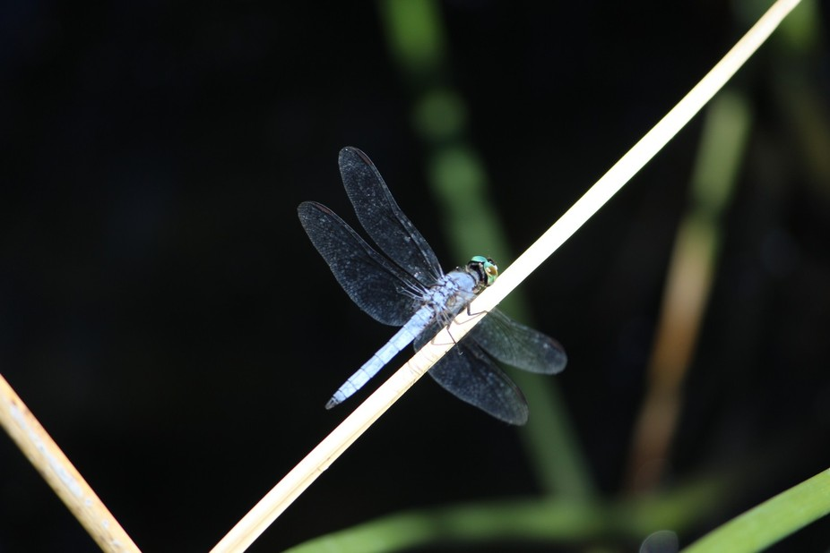 Another Dragonfly at the Preserve