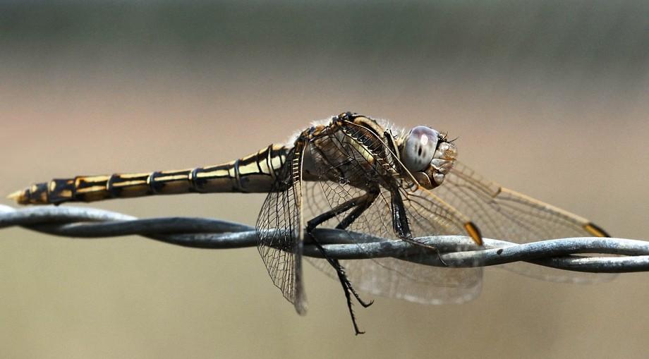 Dragon Fly (5)