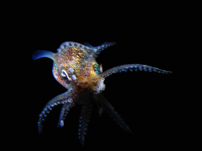 Ninja Bobtail Squid  by Ashley_Missen