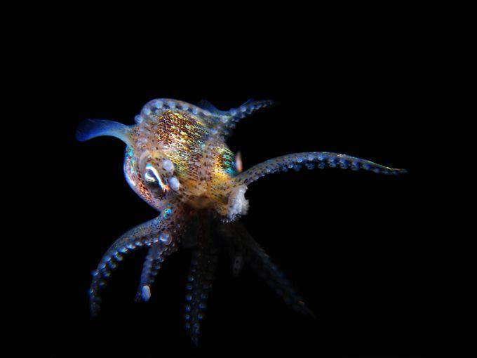 Ninja Bobtail Squid  by Ashley_Missen