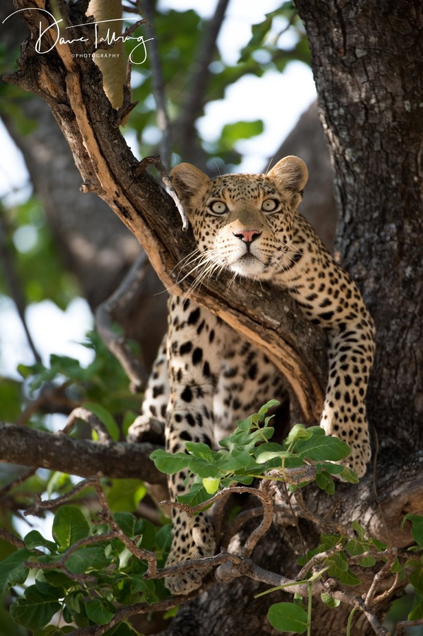 Leopard in tree by davetalling - Explore Africa Photo Contest