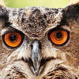 Eurasian eagle owl is one of the largest species of owl, females can grow to a total length of 30 in, and have  a wingspan of 6ft males slightly ...