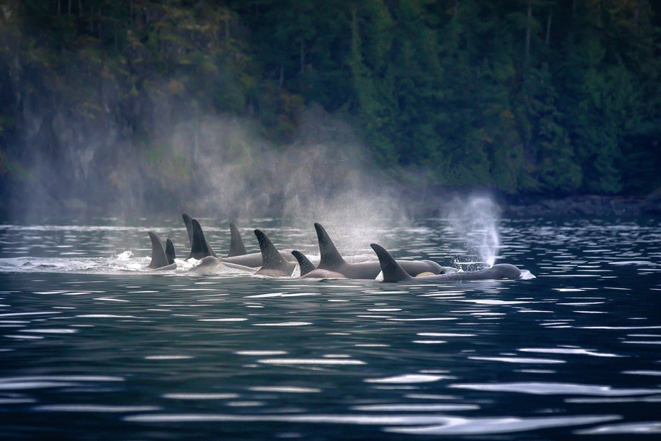 A pod of Northern Resident Orcas, resting after a hard swim to try and beat the tide.  Unfortunat...