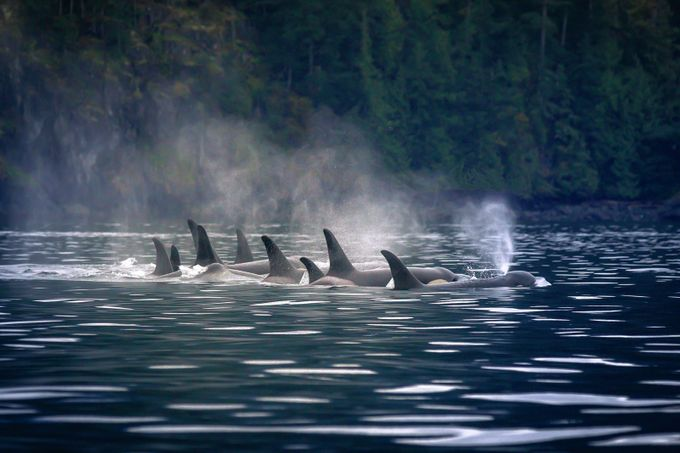 Resting Orcas by Lpepz - Big Mammals Photo Contest