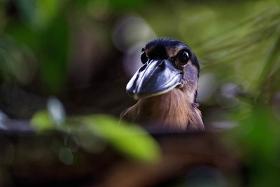 Boat-billed heron (Cochlearius cochlearius)) is looking
