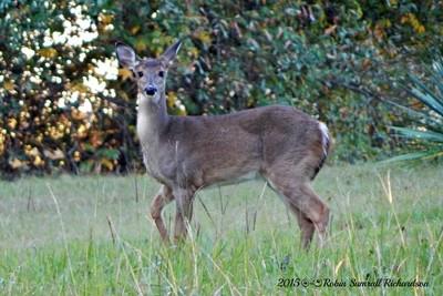 4 Dec 2015-Deer