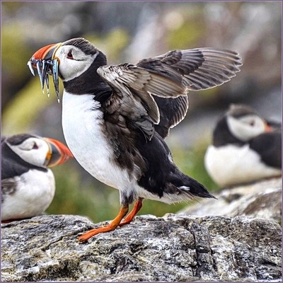 Sandeels for hungry Puffins.