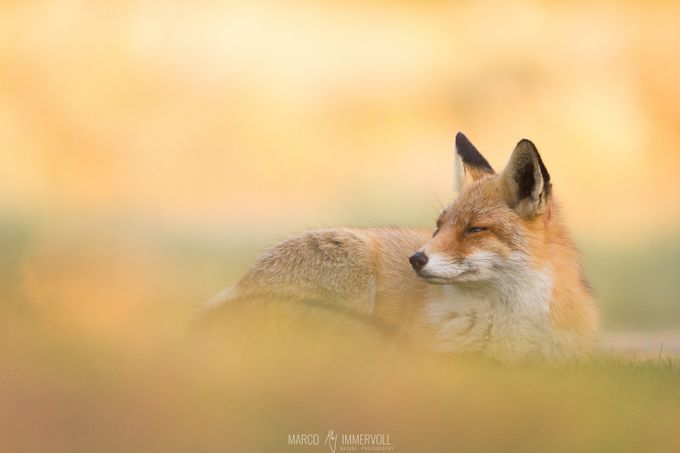 Chilling Fox by marcoimmervoll - Image Of The Month Photo Contest Vol 27